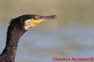 Becco del cormorano